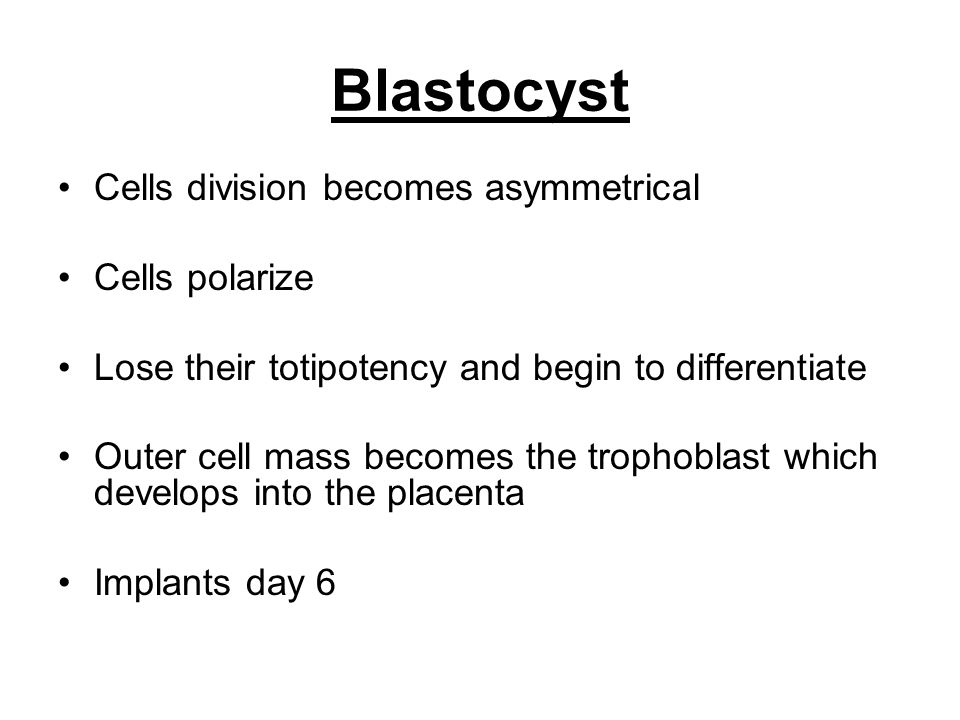 Blastocyst Cells division becomes asymmetrical Cells polarize