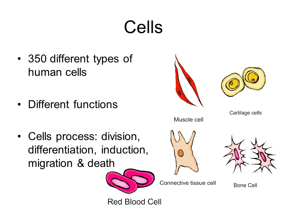 Cells 350 different types of human cells Different functions