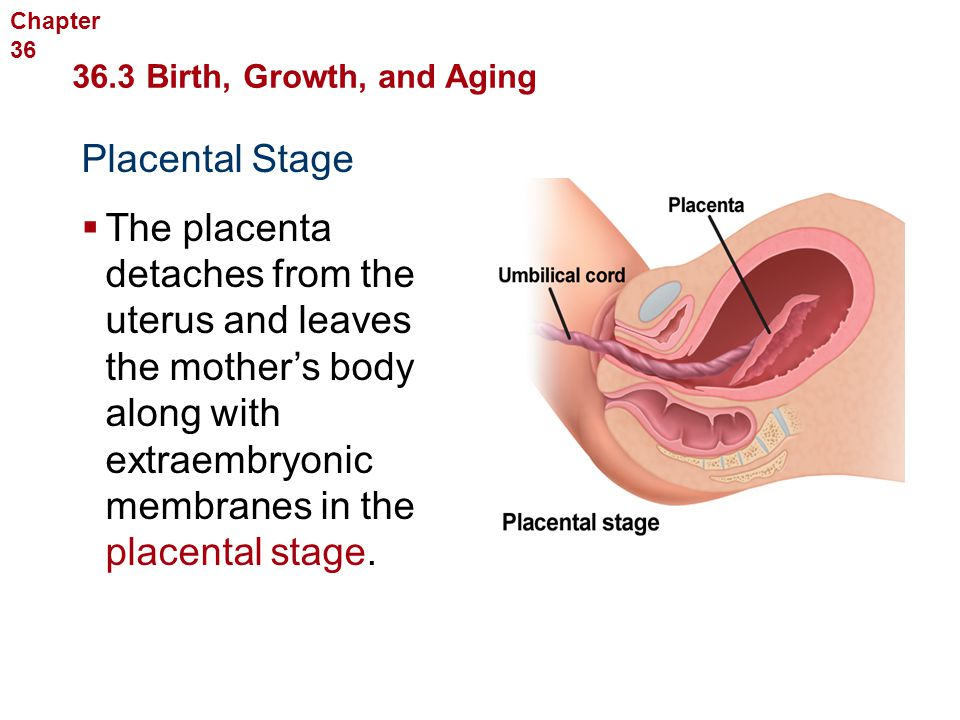 3.4 Prenatal Development Prenatal development after the ...