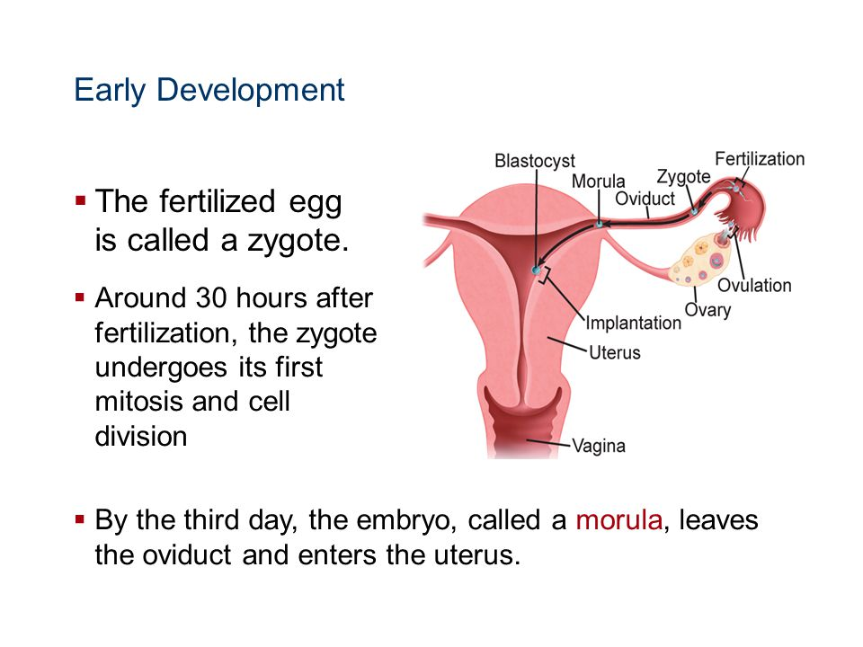 The fertilized egg is called a zygote.