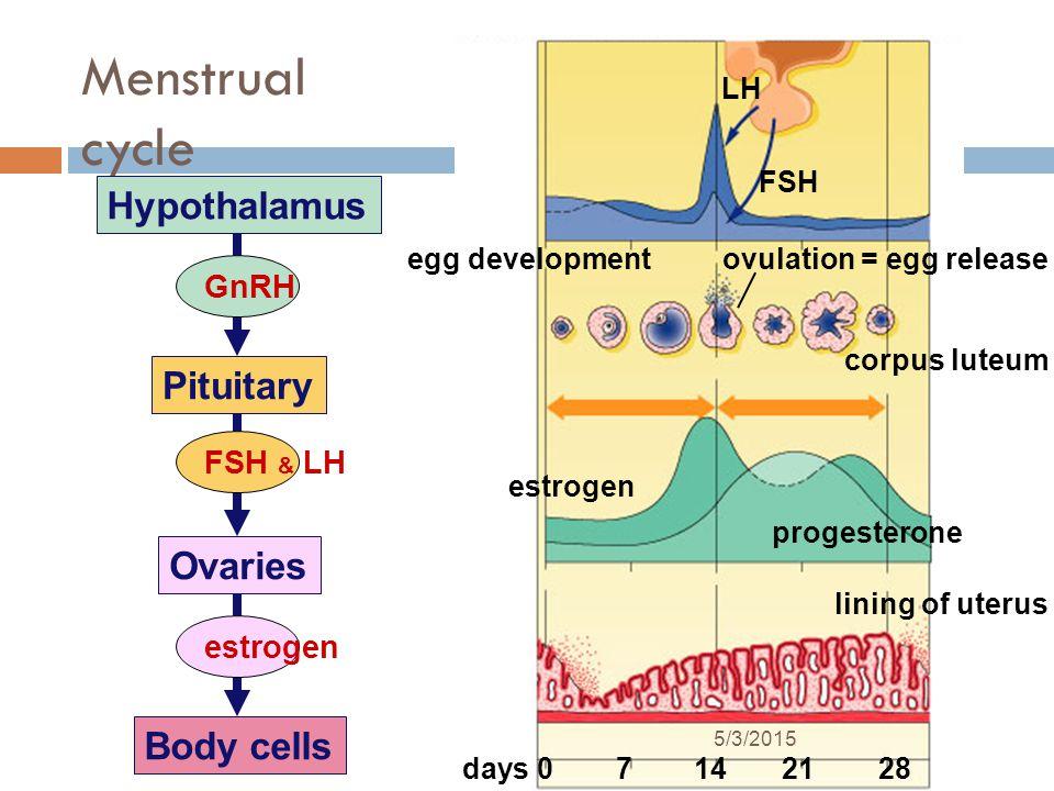 Menstrual cycle Hypothalamus Pituitary Ovaries Body cells GnRH