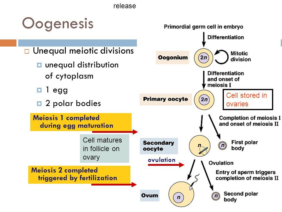 Oogenesis Unequal meiotic divisions unequal distribution of cytoplasm