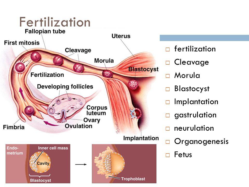Fertilization fertilization Cleavage Morula Blastocyst Implantation