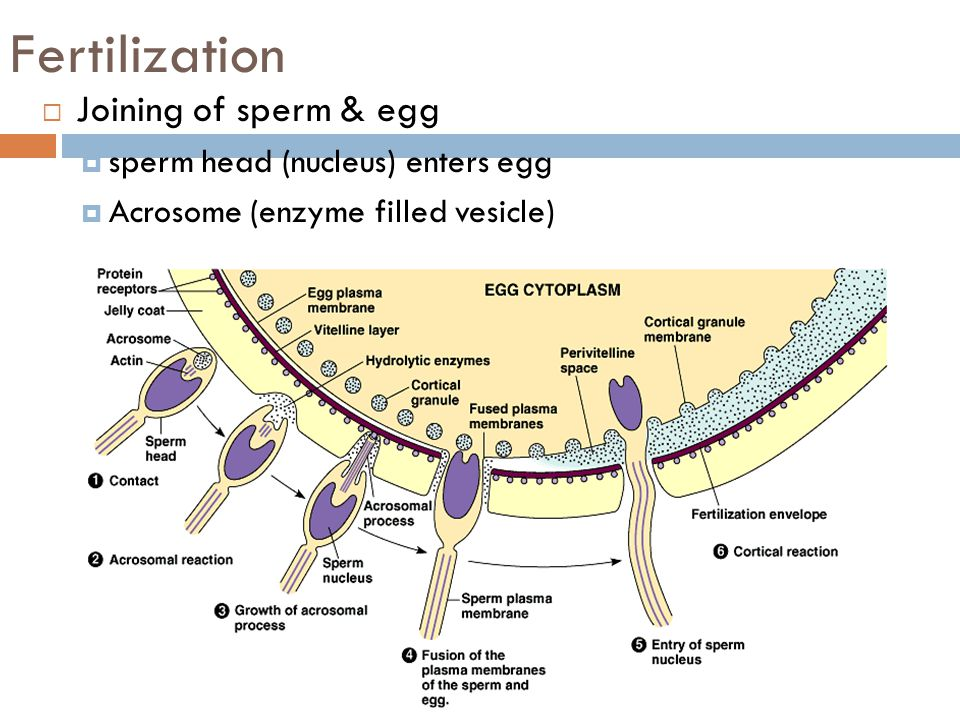 Fertilization Joining of sperm & egg sperm head (nucleus) enters egg