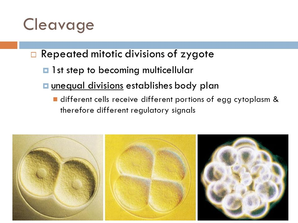 Cleavage Repeated mitotic divisions of zygote