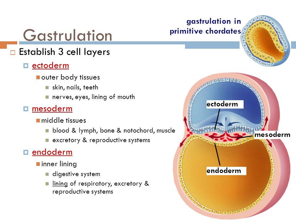 Gastrulation Establish 3 cell layers ectoderm mesoderm endoderm