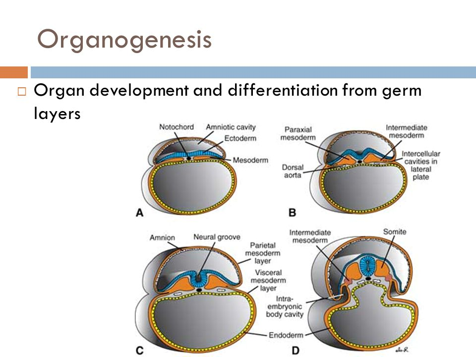 Organogenesis Organ development and differentiation from germ layers