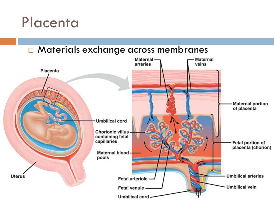 Placenta Materials exchange across membranes