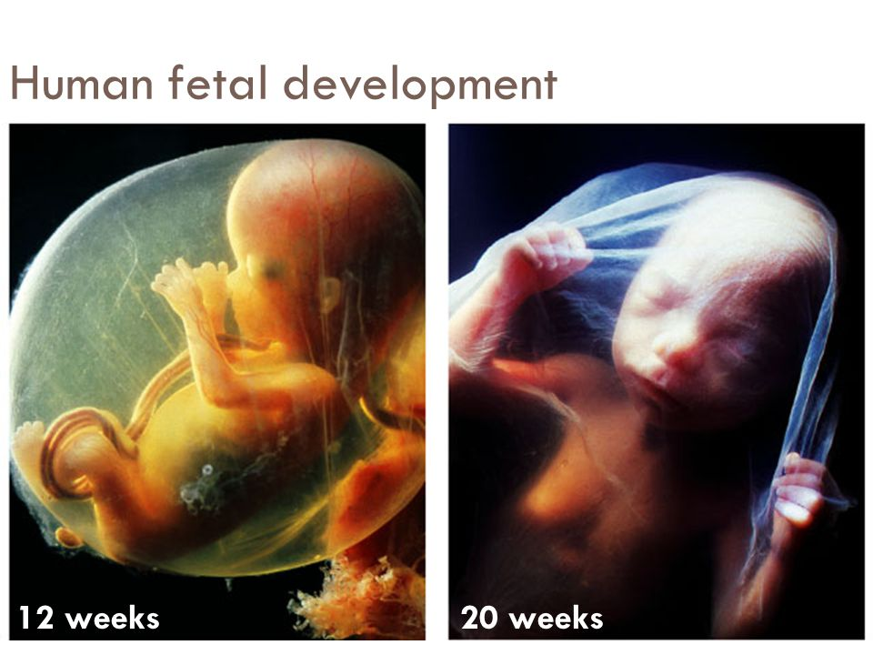Human fetal development