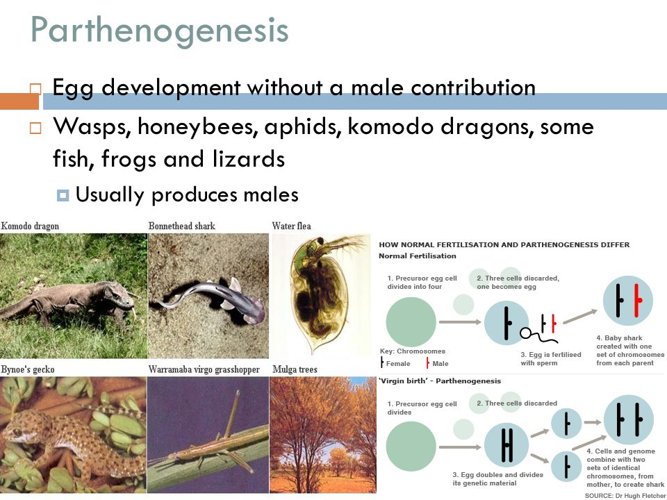 Parthenogenesis Egg development without a male contribution