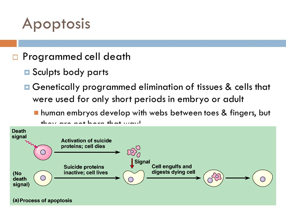 Apoptosis Programmed cell death Sculpts body parts