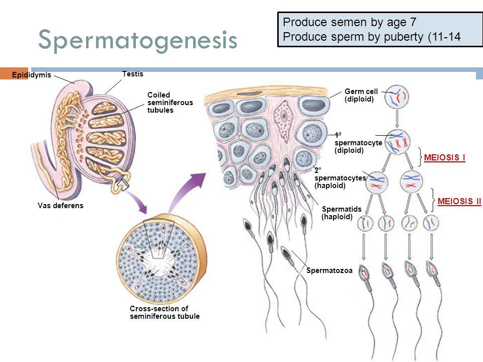 Spermatogenesis Produce semen by age 7 Produce sperm by puberty (11-14