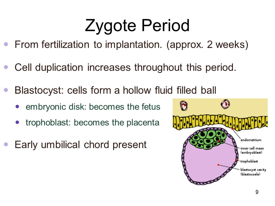 Zygote Period From fertilization to implantation. (approx. 2 weeks)