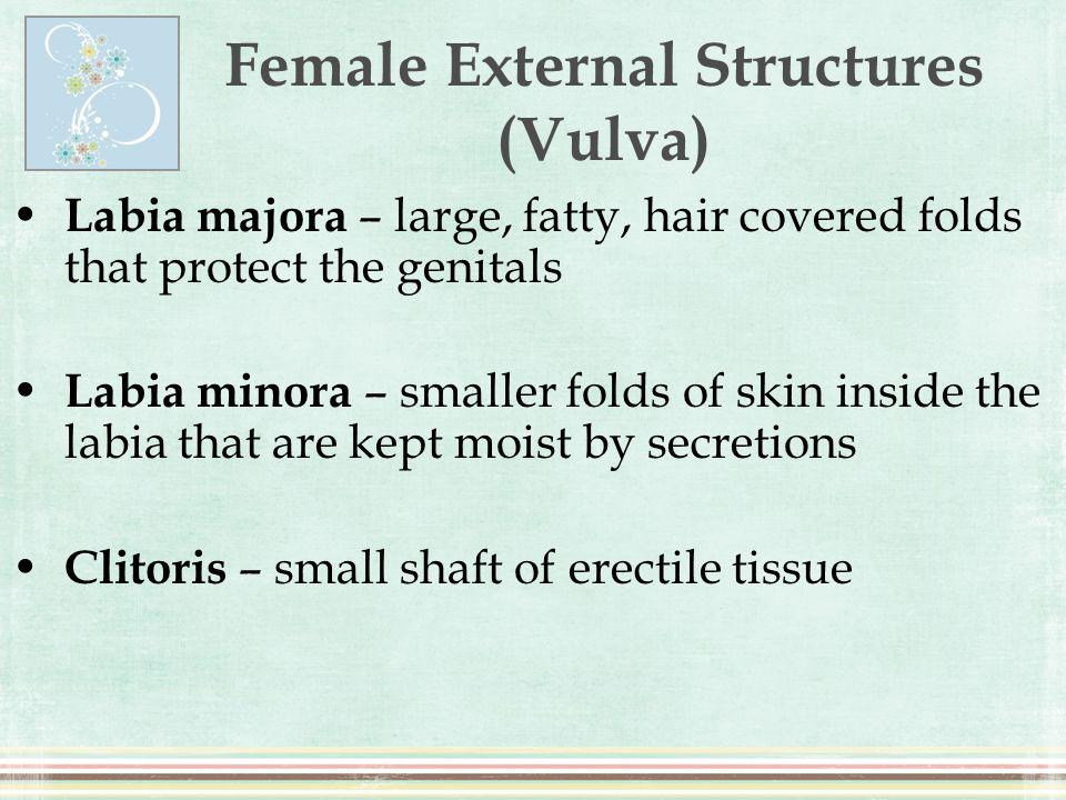 Female External Structures (Vulva)