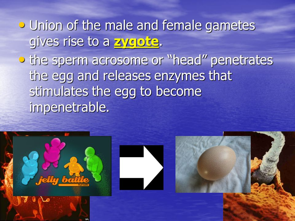 Union of the male and female gametes gives rise to a zygote.