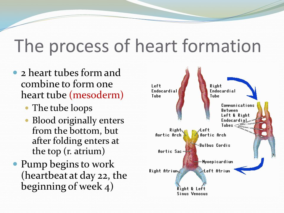 The process of heart formation