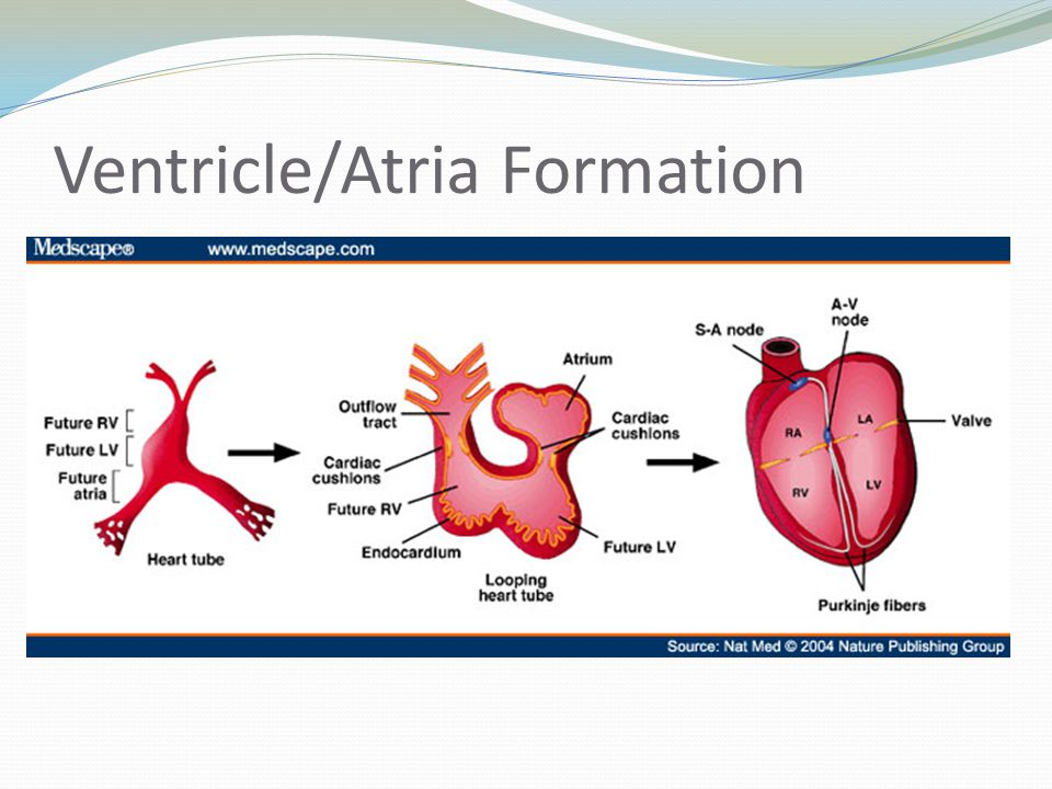 Ventricle/Atria Formation