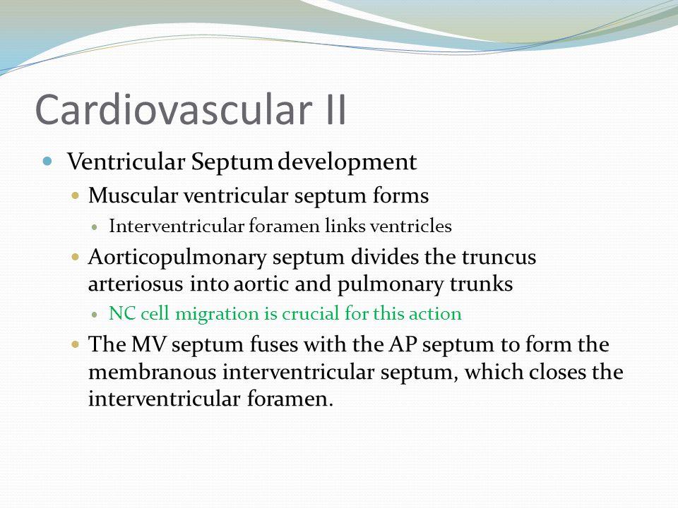 Cardiovascular II Ventricular Septum development