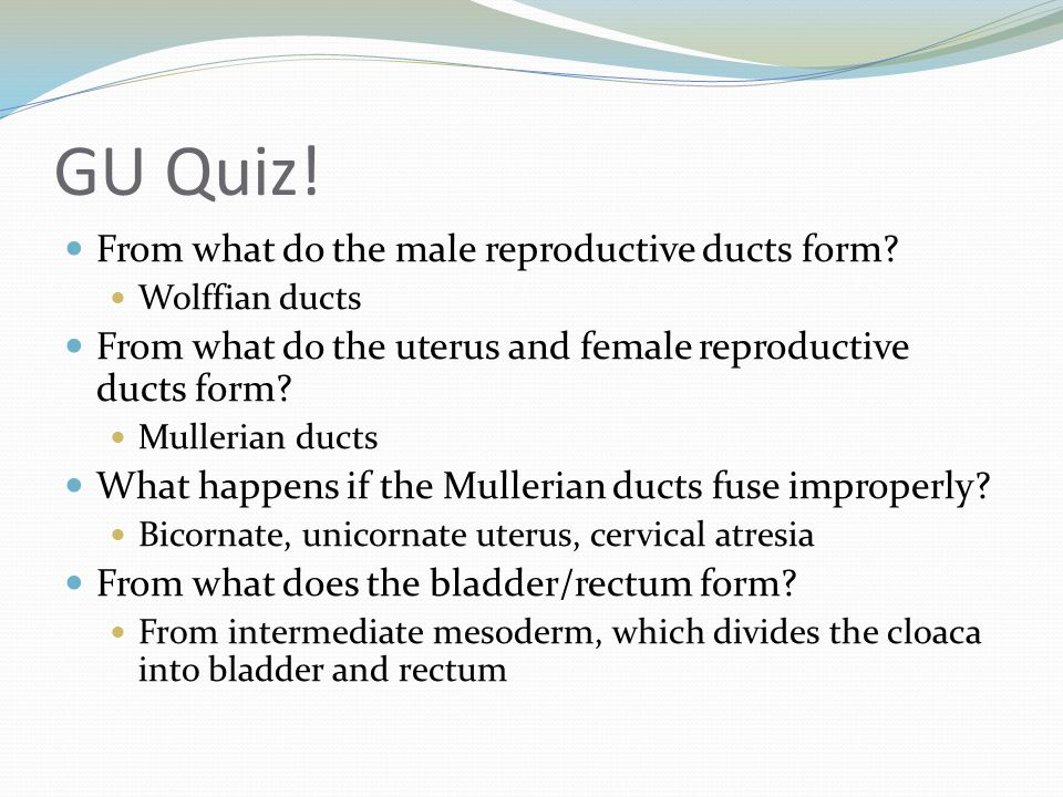 GU Quiz! From what do the male reproductive ducts form