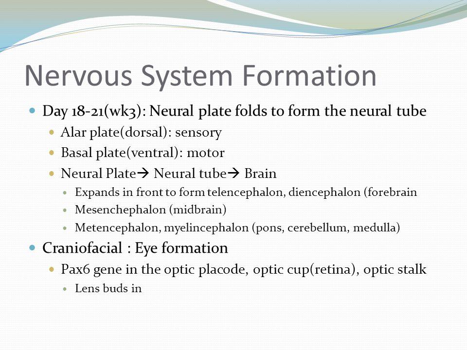 Nervous System Formation