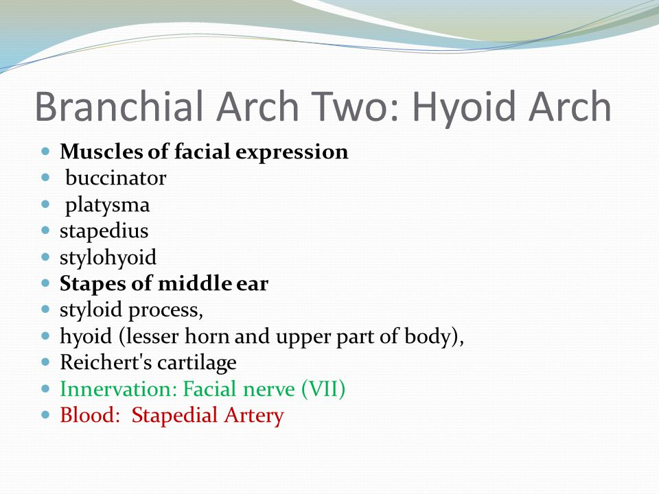 Branchial Arch Two: Hyoid Arch