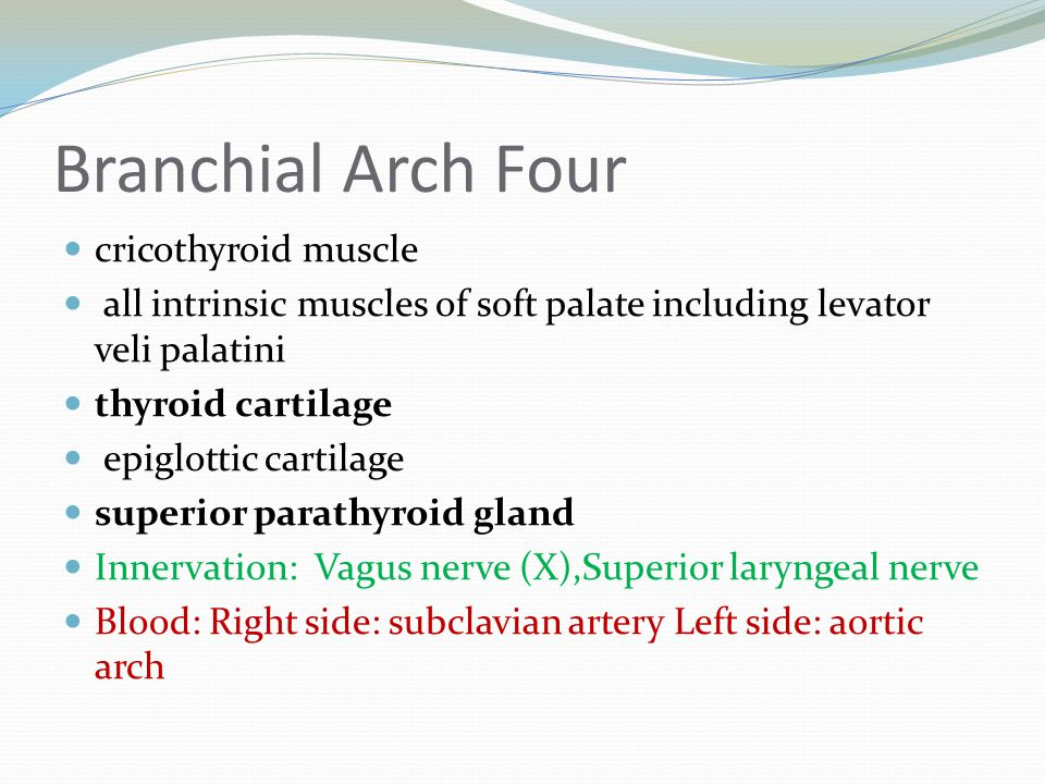 Branchial Arch Four cricothyroid muscle
