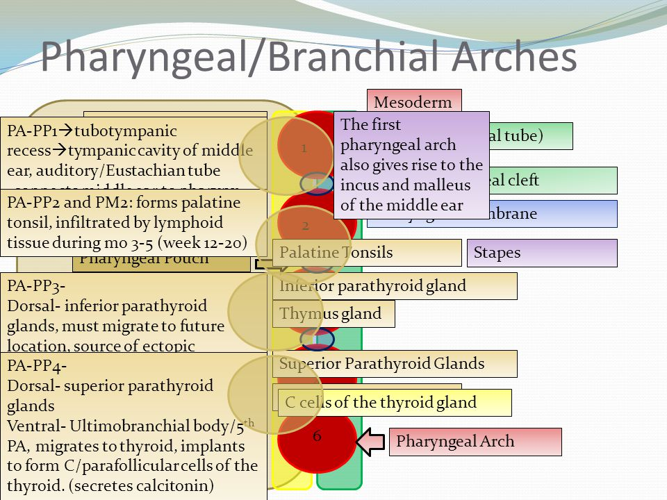 Pharyngeal/Branchial Arches