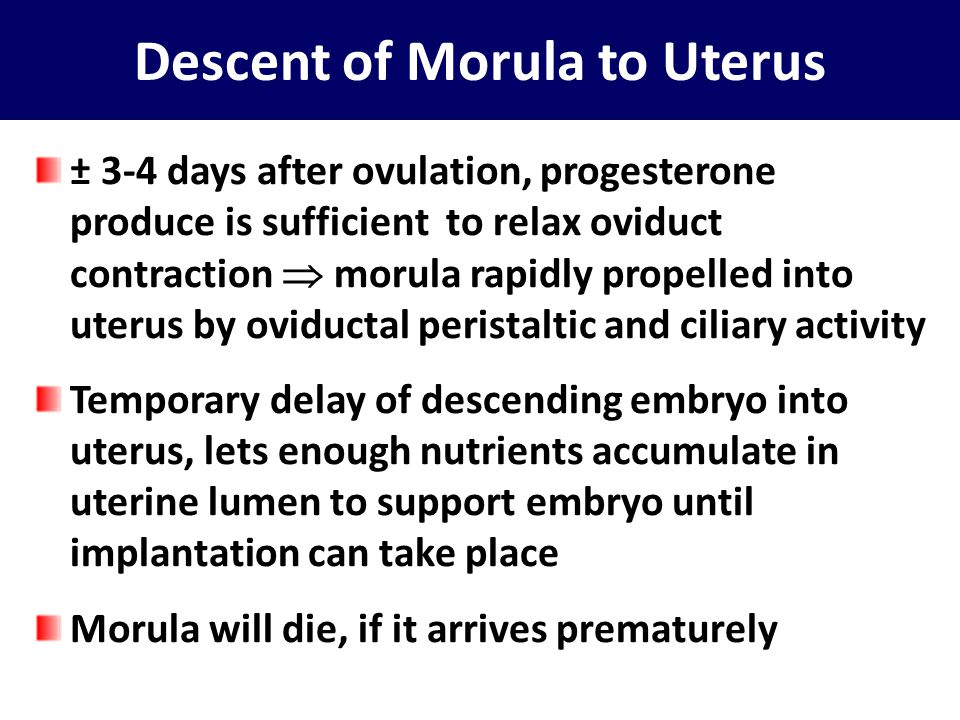 Descent of Morula to Uterus