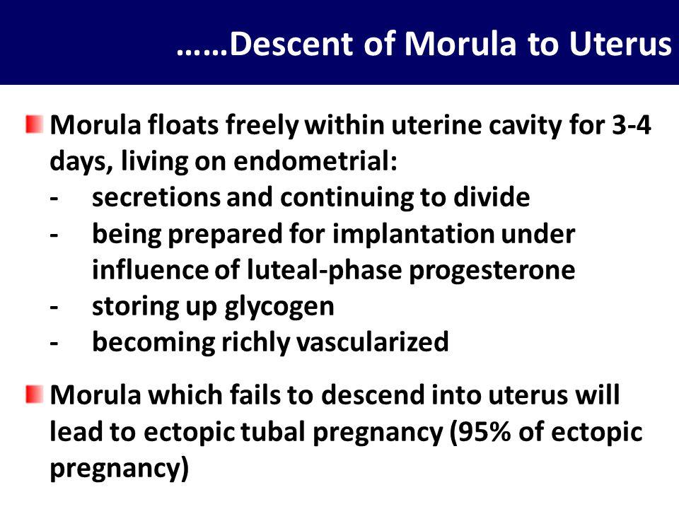 ……Descent of Morula to Uterus