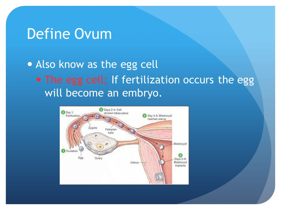 Define Ovum Also know as the egg cell