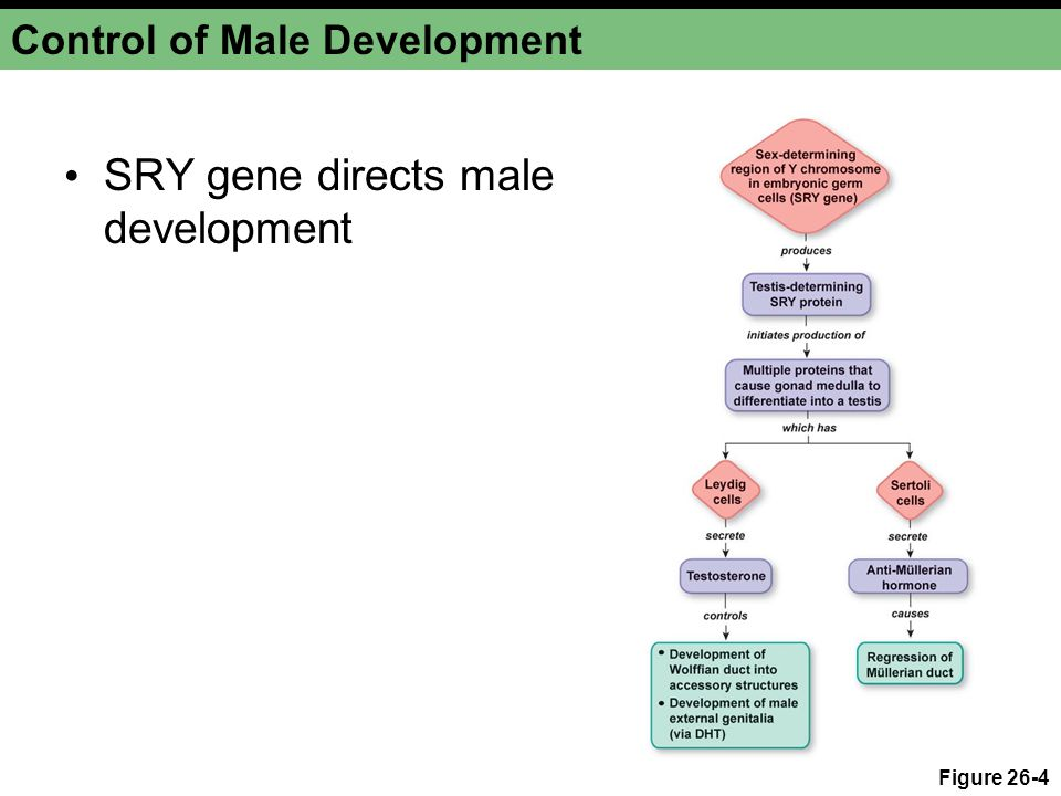 Control of Male Development