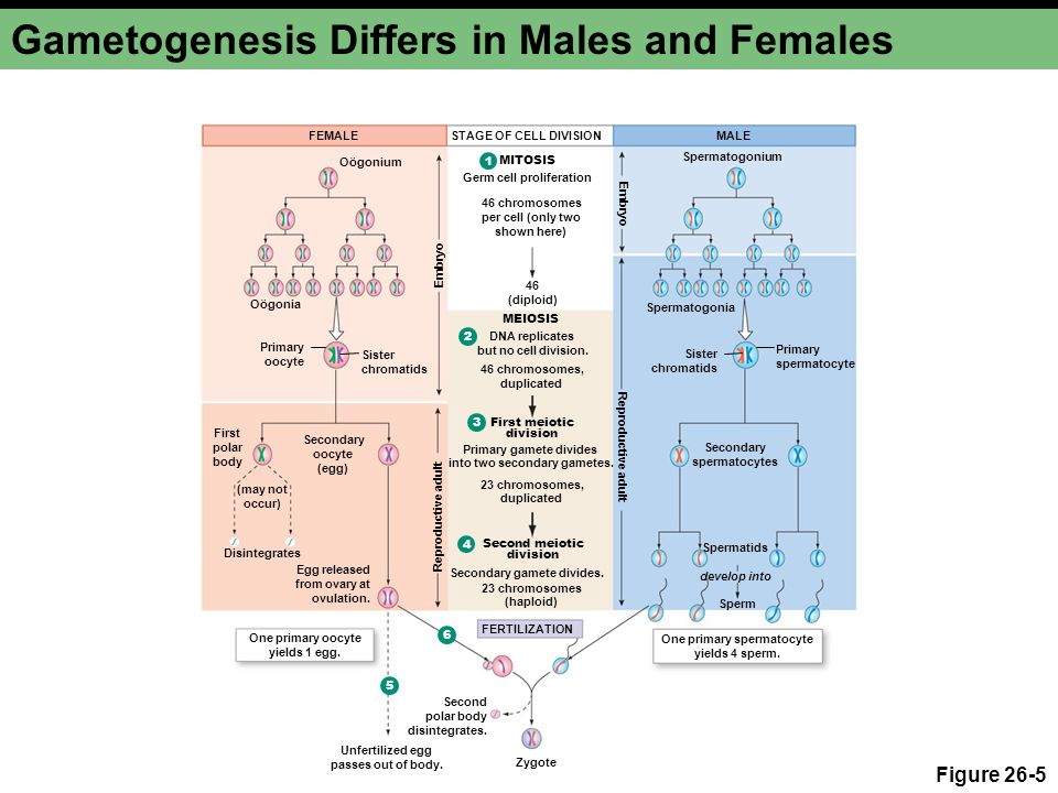 Gametogenesis Differs in Males and Females