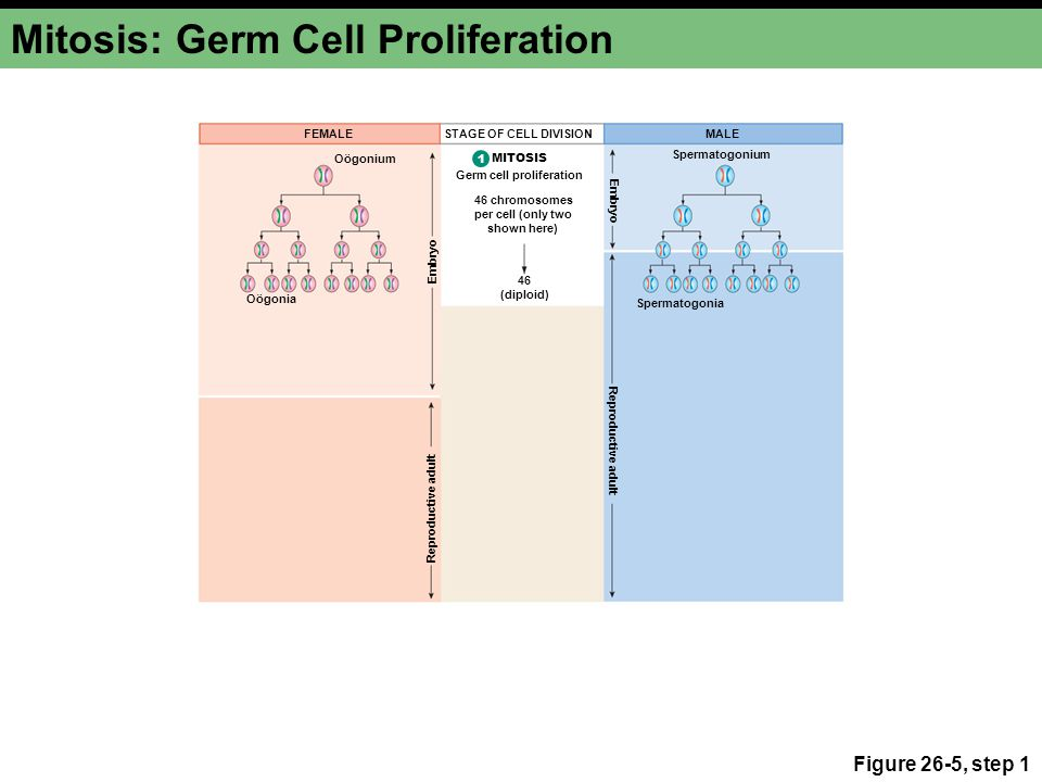Mitosis: Germ Cell Proliferation