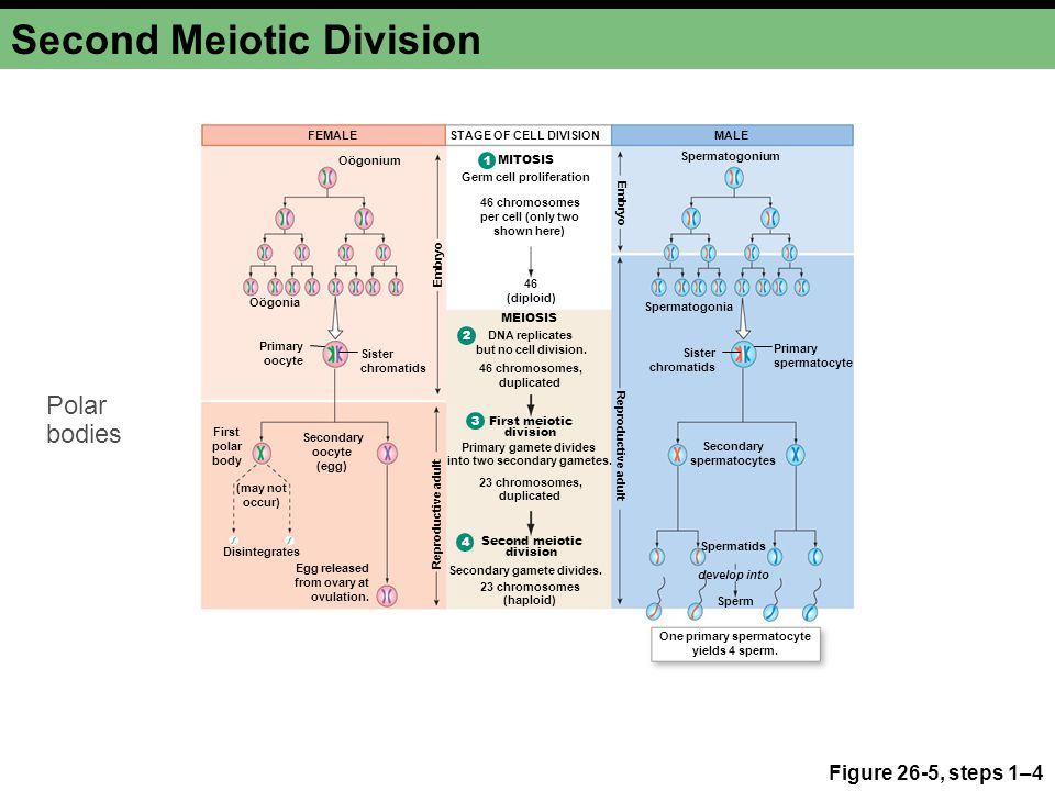 Second Meiotic Division