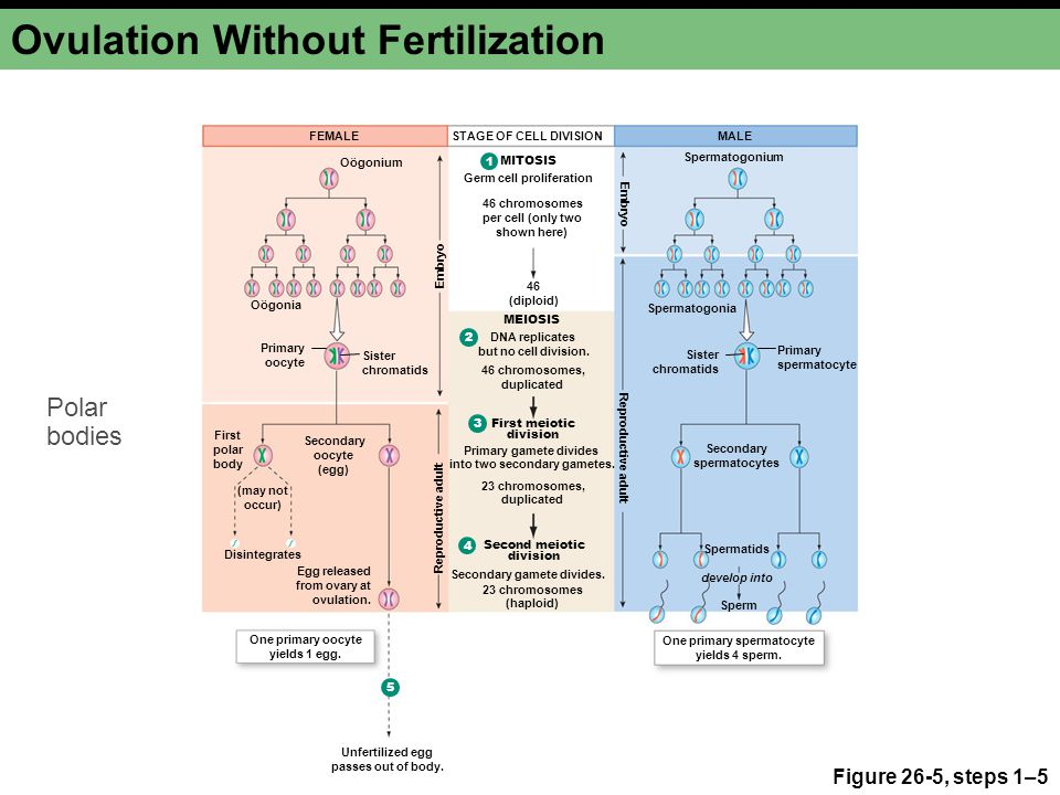 Ovulation Without Fertilization