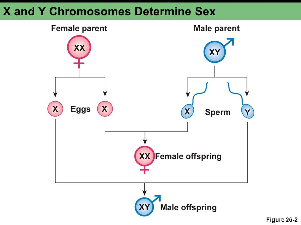 X and Y Chromosomes Determine Sex