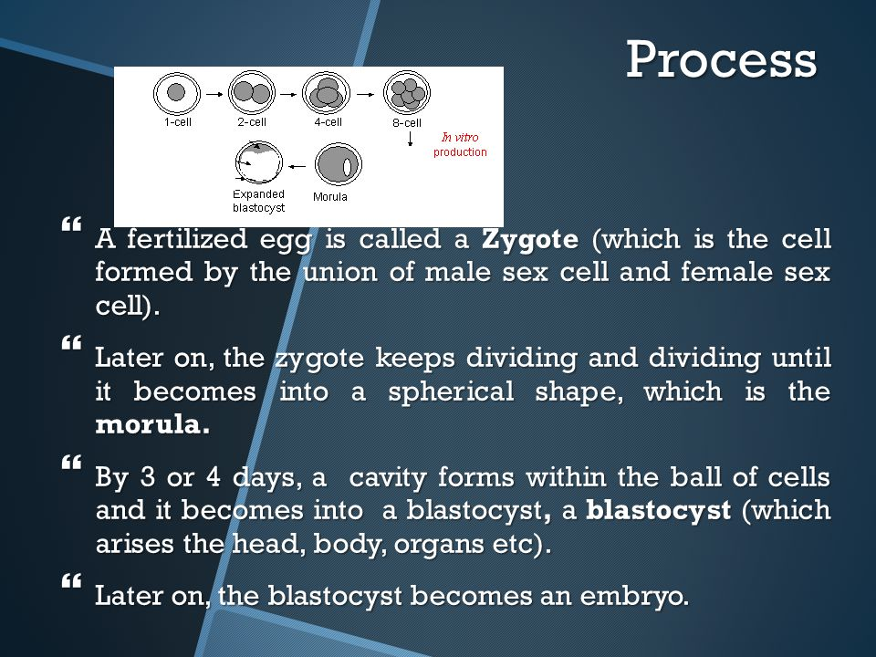 Process A fertilized egg is called a Zygote (which is the cell formed by the union of male sex cell and female sex cell).