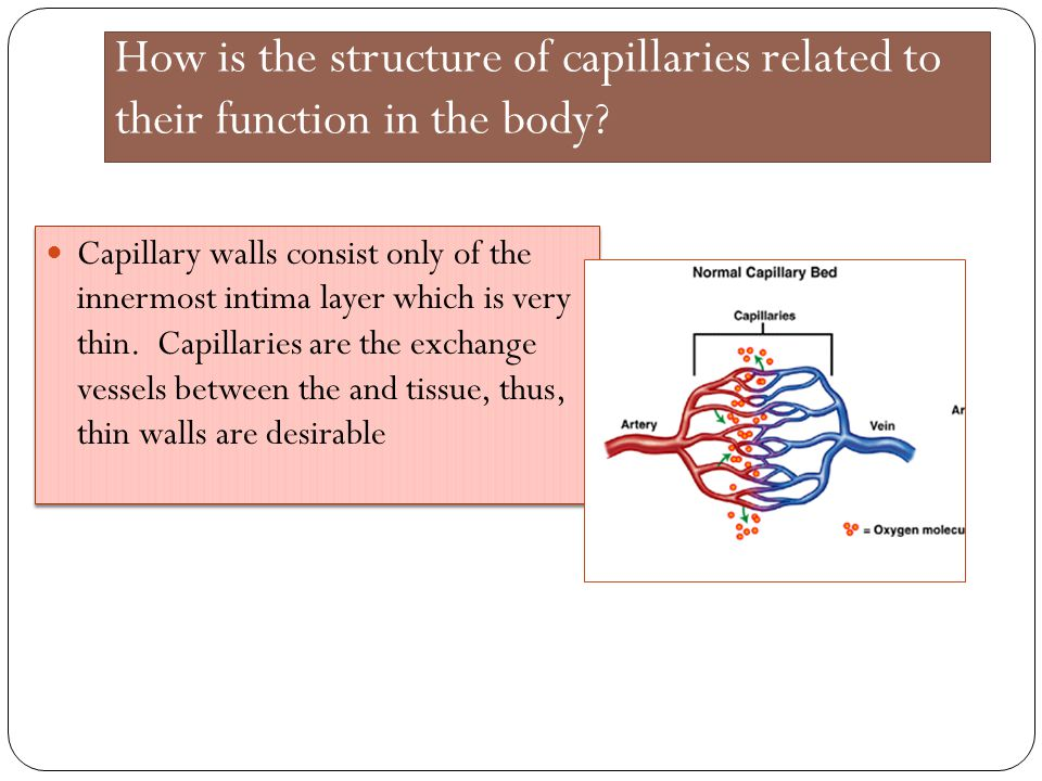 How is the structure of capillaries related to their function in the body