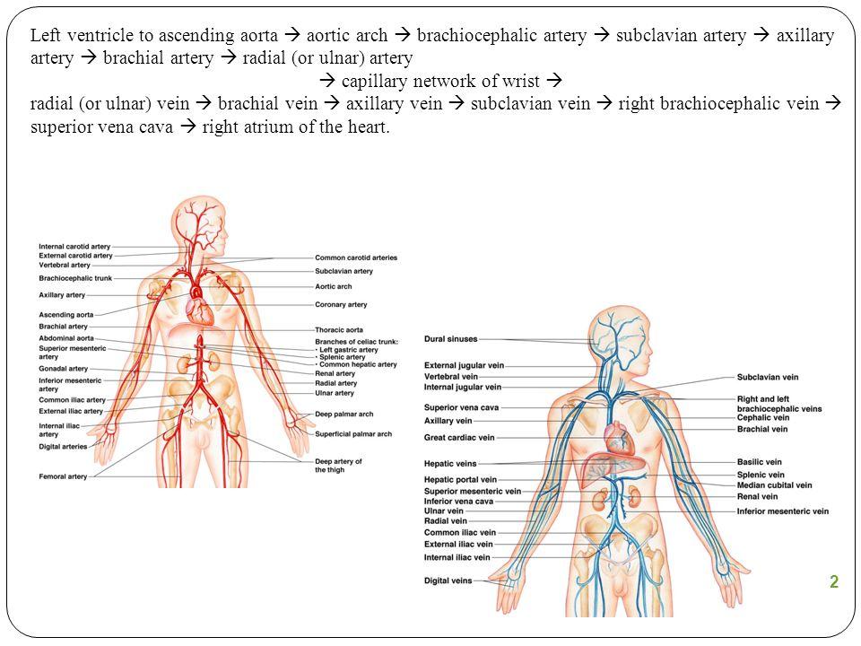  capillary network of wrist 