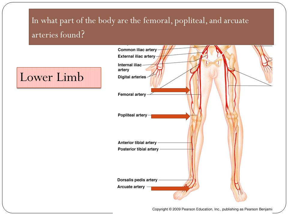 In what part of the body are the femoral, popliteal, and arcuate arteries found
