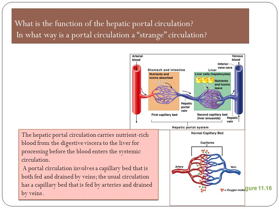 What is the function of the hepatic portal circulation