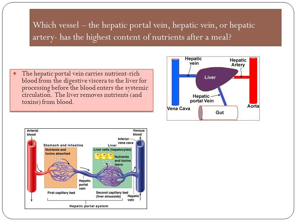 Which vessel – the hepatic portal vein, hepatic vein, or hepatic artery- has the highest content of nutrients after a meal