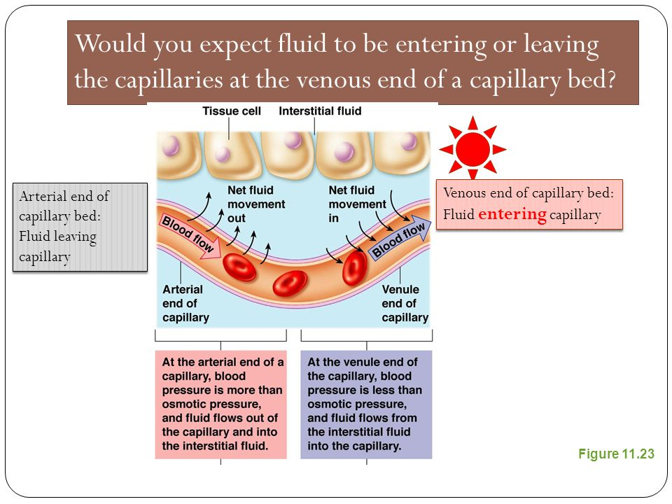 Would you expect fluid to be entering or leaving the capillaries at the venous end of a capillary bed