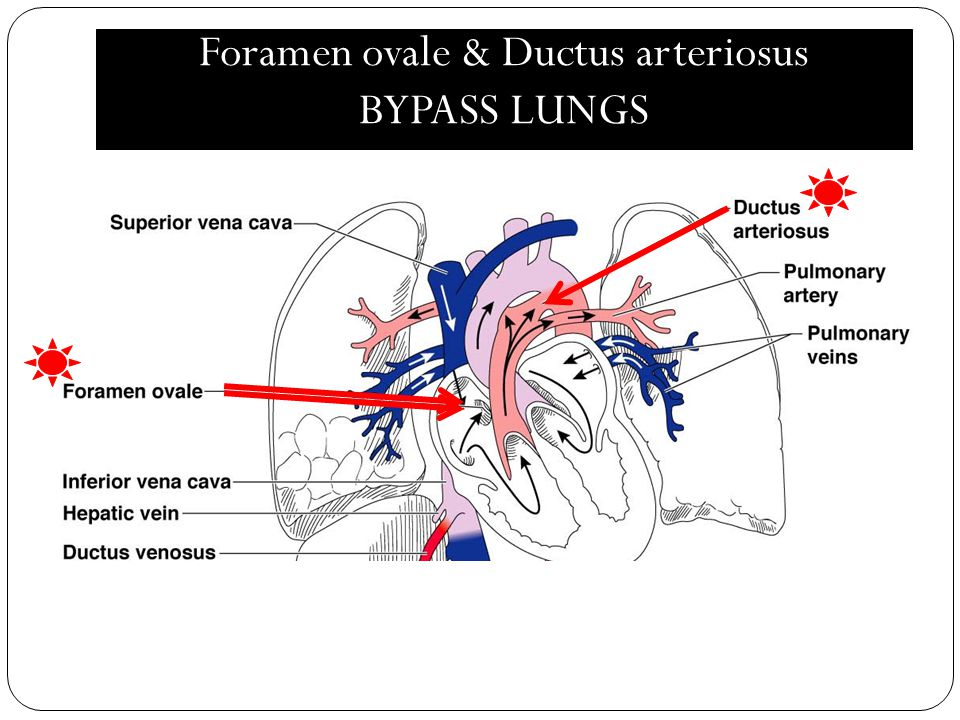 Foramen ovale & Ductus arteriosus BYPASS LUNGS