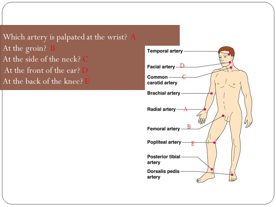 Which artery is palpated at the wrist. A At the groin
