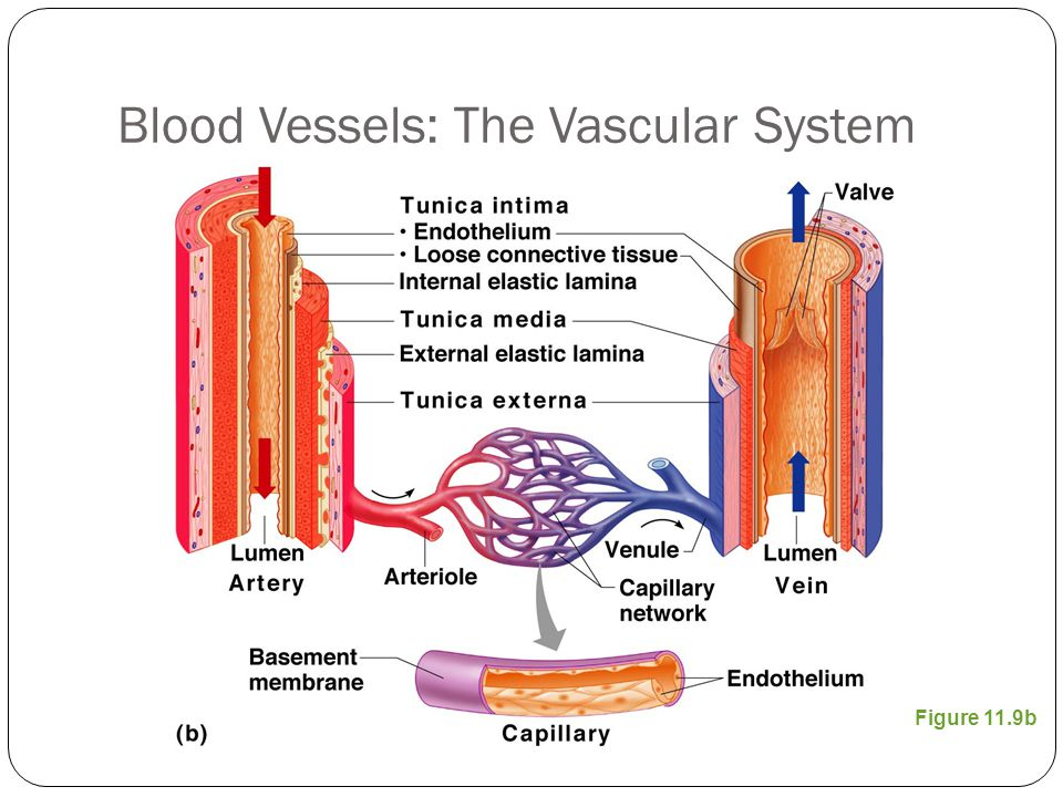 Blood Vessels: The Vascular System
