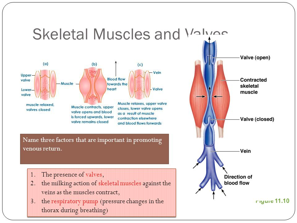Skeletal Muscles and Valves