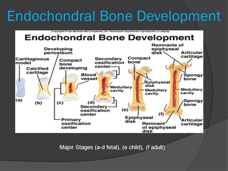 Endochondral Bone Development