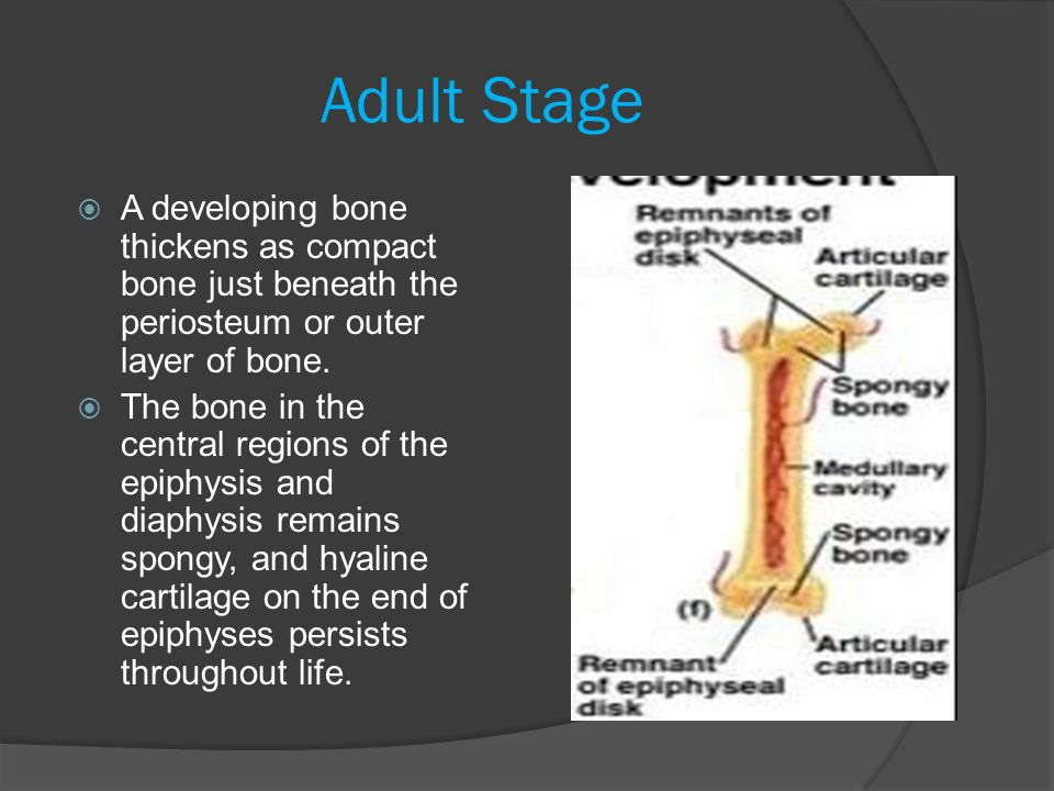 Adult Stage A developing bone thickens as compact bone just beneath the periosteum or outer layer of bone.