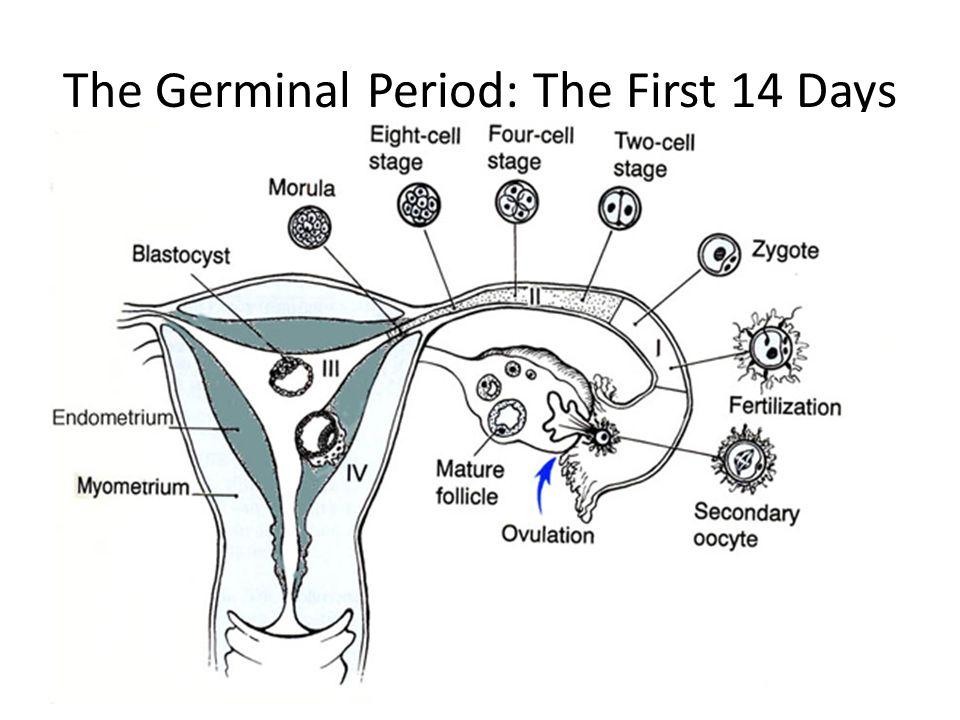 The Germinal Period: The First 14 Days
